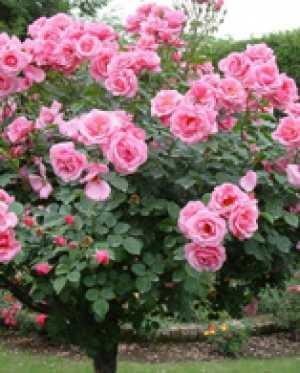 Розарий Главного ботанического сада